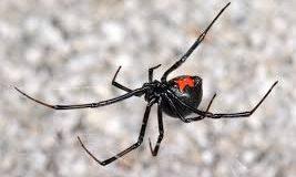 הדברת עכבישים בבית